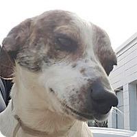 Adopt A Pet :: Gunner - St.Ann, MO