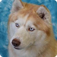 Siberian Husky Dog for adoption in Eureka, California - Bailee