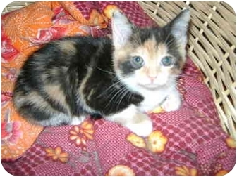 Calico Kitten for adoption in Etobicoke, Ontario - little girls