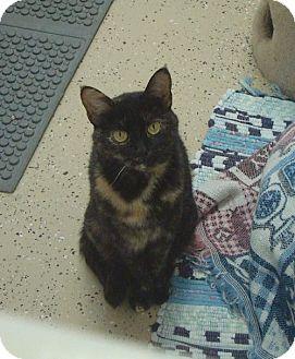 Domestic Shorthair Cat for adoption in Pekin, Illinois - Lyla