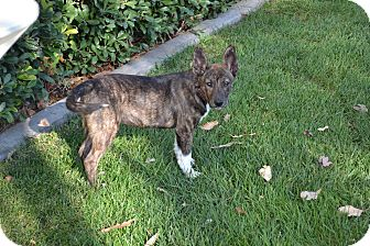 Dutch Shepherd/Corgi Mix Puppy for adoption in Torrance, California - Chance