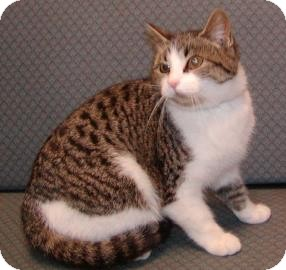 Domestic Shorthair Cat for adoption in Jackson, Michigan - Gabby