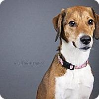 Adopt A Pet :: Godiva - Muskegon, MI