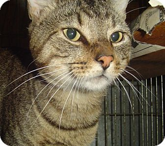 Domestic Shorthair Cat for adoption in Cranston, Rhode Island - RILEY