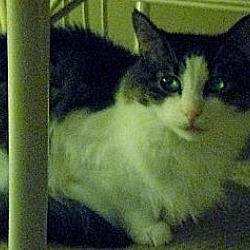 Photo 1 - Maine Coon Cat for adoption in Blairstown, New Jersey - CP - NJ - Noble Noah