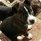 Adopt A Pet :: Bogart