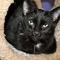 Domestic Shorthair Cat for adoption in Memphis, Tennessee - Jett