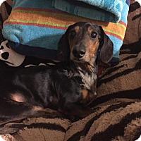 Dachshund Dog for adoption in Weston, Florida - Sir Winston