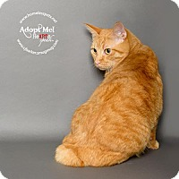 Manx Cat for adoption in Houston, Texas - Peter