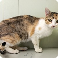 Calico Cat for adoption in Indianola, Iowa - O-4