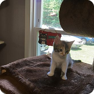 Domestic Mediumhair Kitten for adoption in Bluefield, West Virginia - Callie
