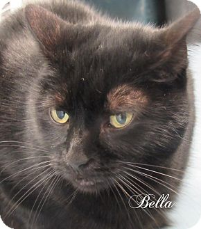 Domestic Shorthair Cat for adoption in Jackson, New Jersey - Bella