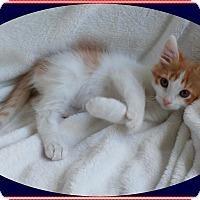 Adopt A Pet :: Stripes - Mt. Prospect, IL