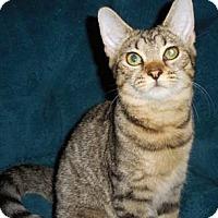 Domestic Shorthair Kitten for adoption in Merrifield, Virginia - Ginger