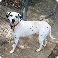 Adopt A Pet :: Pebbles - Tampa, FL