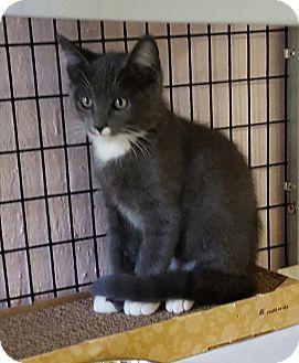 Domestic Shorthair Kitten for adoption in Maryville, Illinois - Ninja