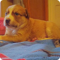 Australian Cattle Dog/Pit Bull Terrier Mix Puppy for adoption in Wichita Falls, Texas - Tubby
