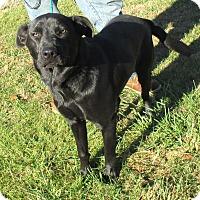 Labrador Retriever Mix Dog for adoption in Reeds Spring, Missouri - Brownie
