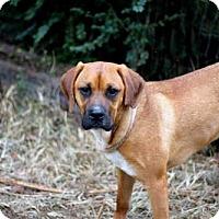 Adopt A Pet :: DUKE GRAHAM - Salem, NH
