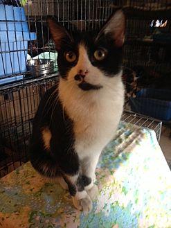 Domestic Mediumhair Cat for adoption in Wichita Falls, Texas - Atticus