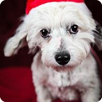 Adopt A Pet :: Snowy - Tehachapi, CA