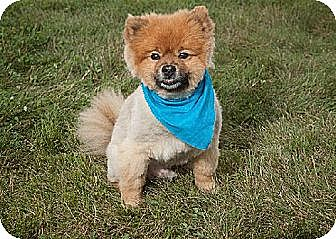 Pomeranian Dog for adoption in Harrisburg, Pennsylvania - Zander