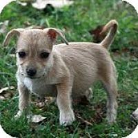 Adopt A Pet :: Dora - Brattleboro, VT