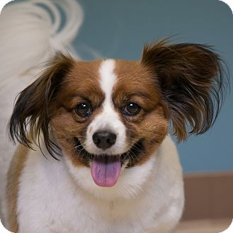 Papillon Mix Dog for adoption in Staunton, Virginia - Monte