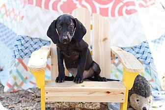 Labrador Retriever Puppy for adoption in Auburn, California - Gizelle