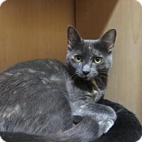 Domestic Mediumhair Cat for adoption in Land O Lakes, Florida - Bailey