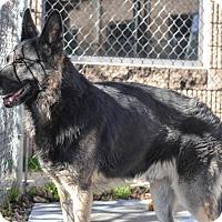 Adopt A Pet :: Nesbitt - working dog - Dacula, GA