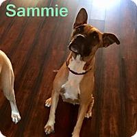 Adopt A Pet :: Sammie - Maricopa, AZ