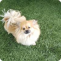 Adopt A Pet :: SIMBA - Gustine, CA