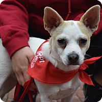 Jack Russell Terrier Mix Dog for adoption in Herndon, Virginia - Veronica