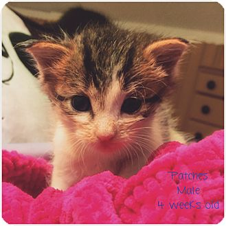 Domestic Shorthair Kitten for adoption in Palisades Park, New Jersey - Patches