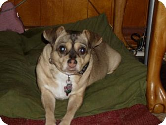Pug/Chihuahua Mix Dog for adoption in Houston, Texas - Ginger 3