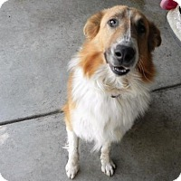 Collie Dog for adoption in Fresno, California - Oliver