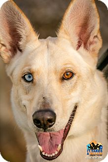 Husky Mix Dog for adoption in Evansville, Indiana - Shelby
