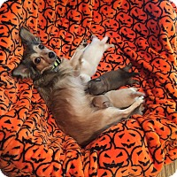 Papillon/Chihuahua Mix Dog for adoption in Redondo Beach, California - Momma Mia-ADOPT Me!