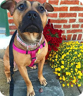 American Staffordshire Terrier Mix Dog for adoption in Cherry Hill, New Jersey - Madison