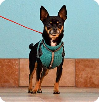 Miniature Pinscher Mix Dog for adoption in Rockford, Illinois - JR