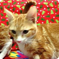 Domestic Shorthair Cat for adoption in Apple Valley, California - Amarillo #162428