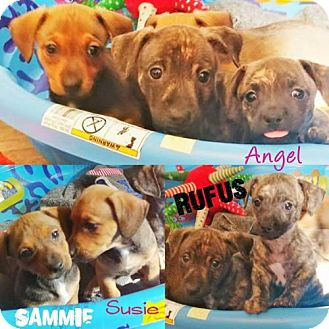 Dachshund Mix Puppy for adoption in Ponca City, Oklahoma - Angel
