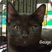Adopt A Pet :: Gauge V - Sacramento, CA