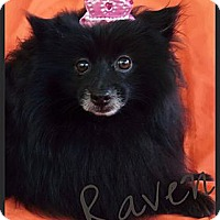 Adopt A Pet :: Raven - Orange, CA