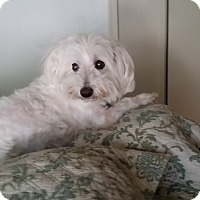 Adopt A Pet :: Vinnie - Cotati, CA