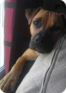 Boxer Mix Dog for adoption in Thomasville, North Carolina - Abby