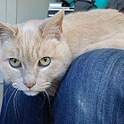 Photo 2 - Domestic Shorthair Cat for adoption in Berkeley, California - Homer