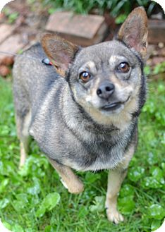 Chihuahua Mix Dog for adoption in Germantown, Tennessee - Jackie