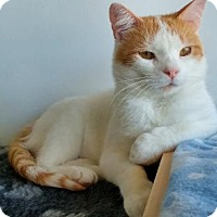 Adopt A Pet :: Kirk (Bonded to Tango) - Richmond Hill, ON